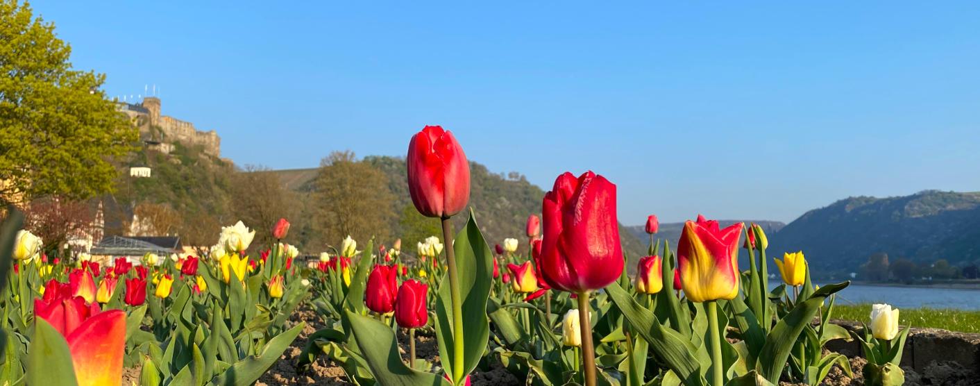 Tulpen aus St. Goar